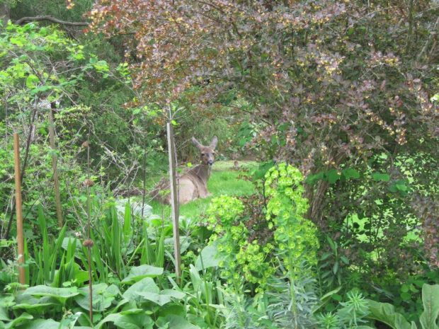 Deer in neighbour's yard seen through shrubs