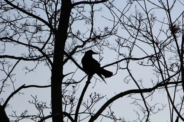 crow in bare tree