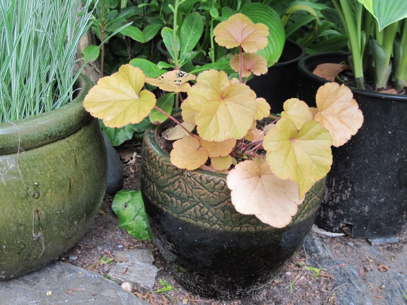"Heuchera coral bells ""Timeless Orange"" and pot ""Toga Bell Yama, olive black"""
