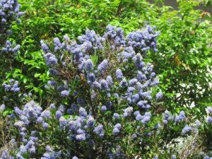 Ceanothus, California lilac in bloom