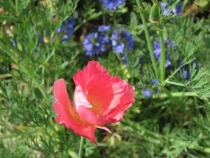 California poppy rosy pink colour