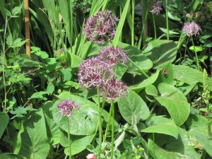 Allium christophii blooms and Phlomis foliage