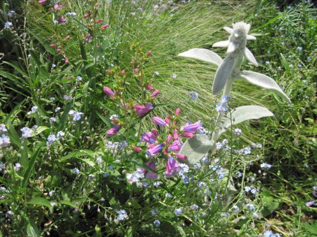 Ornamental grass Stipa tenuissima, Penstemon blooms and Lambs' ear stalk