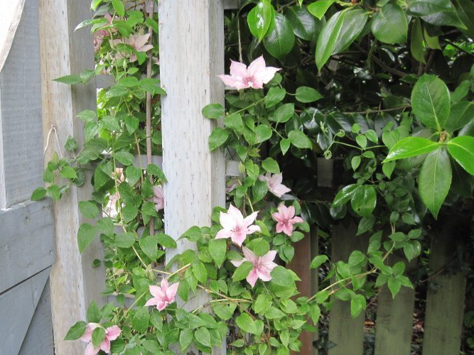 "Clematis ""Pink Fantasy"" in bloom"