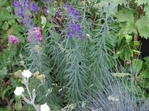 Linaria purpurea foliage and flowers