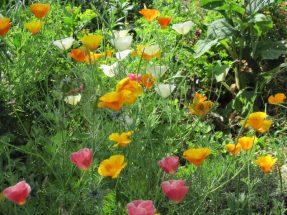 California poppies, orange, white, pink