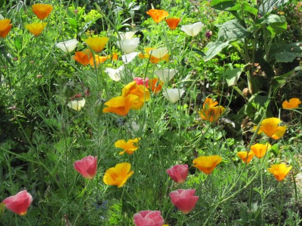 California poppies, orange, white, pink
