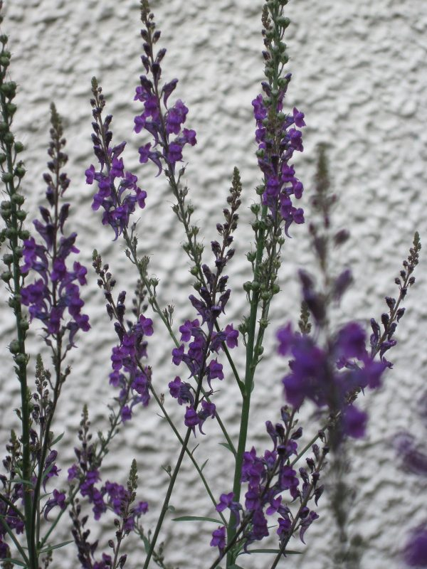 Linaria purpurea flowers