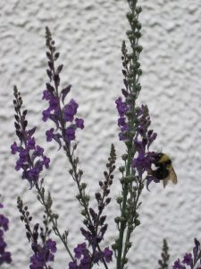 Linaria purpurea flowers with bumblebee