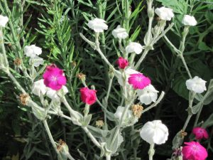 Rose campion Lychnis coronaria, magenta and white forms