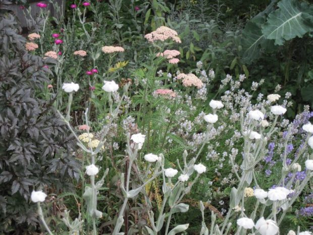 "Rose campion Lychnis coronaria white form with lavender, pale pink achillea and foliage of Dahlia ""Bishop of Llandaff"""