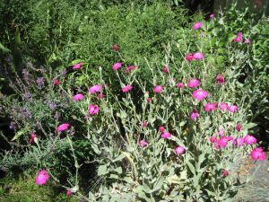 Lychnis coronaria Rose campion with Linaria purpurea Purple toadflax
