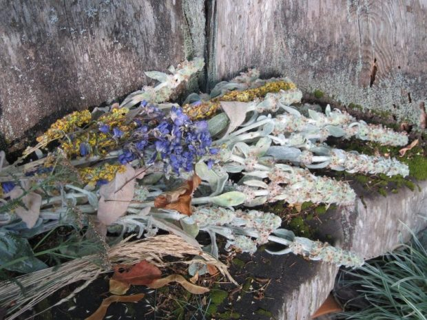 Cut-down bloom stalks of lambs' ears, mullein, delphinium, achillea, blue fescue on Pond Bench. Dead flowers.