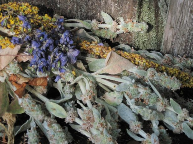 Cut-down bloom stalks of lambs' ears, mullein, delphinium on Pond Bench, dead flowers