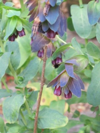 Cerinthe Pride of Gibraltar close-up, blue leaves