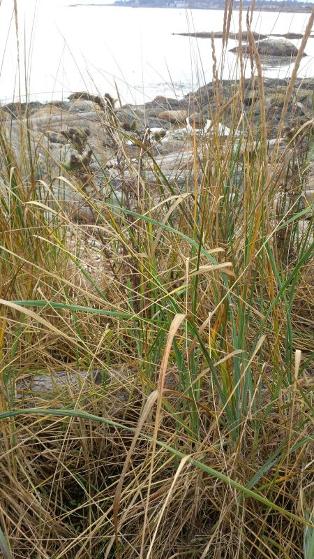 Beach grass at Cattle Point