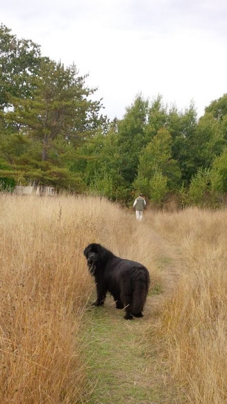 Nelly the Newfoundland in Uplands Park