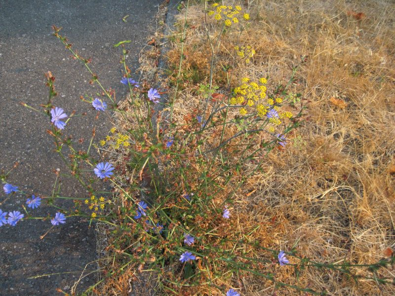 Chicory and fennel on boulevard