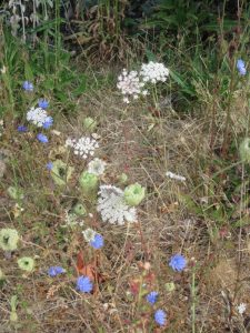 Chicory and Queen Anne's Lace on boulevard