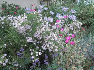 "Asters ""Pink Cloud"" and ""Monch"" with last few Rose Campion and Linaria flowers"