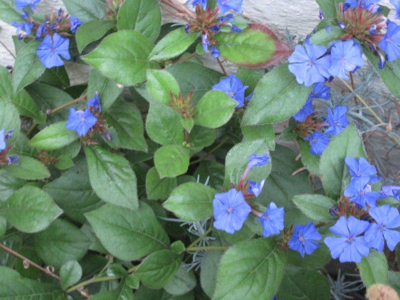 Ceratostigma plumbaginoides, blue leadword, plumbago