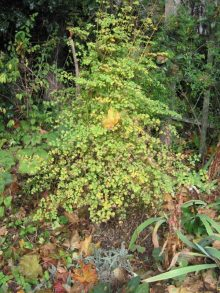 Thalictrum foliage turning yellow