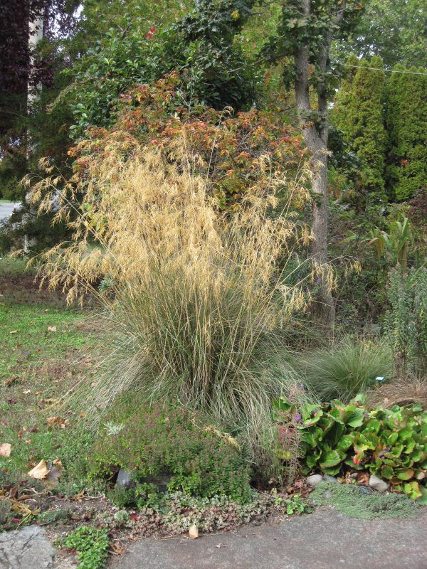Stipa gigantea in fall