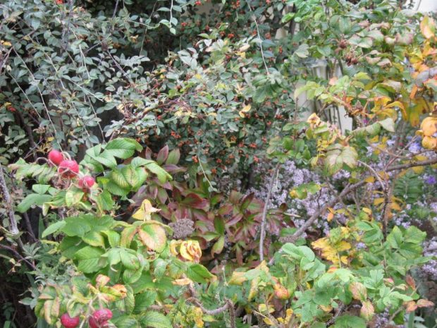 "Rosa rugosa foliage and hips with cotoneaster foliage and aster ""Pink Cloud"" in background"