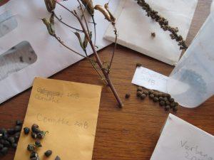 Saved seeds, cerinthe seeds, beach pea seeds 2018
