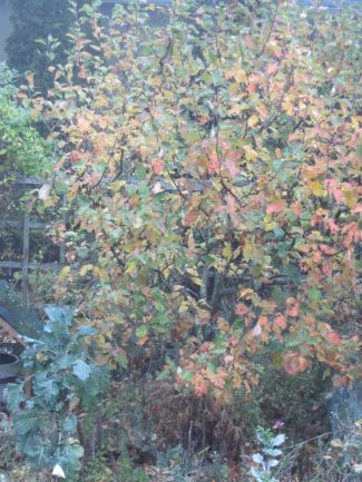 Apple tree October 23, 2018 orange and red leaves