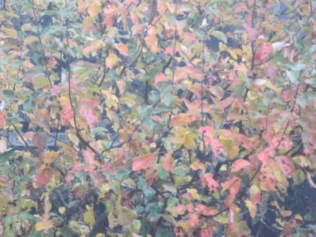 Apple tree October 24, 2018 yellow, orange and red leaves in fog