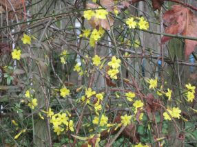 Winter jasmine, Jasminum nudiflorum