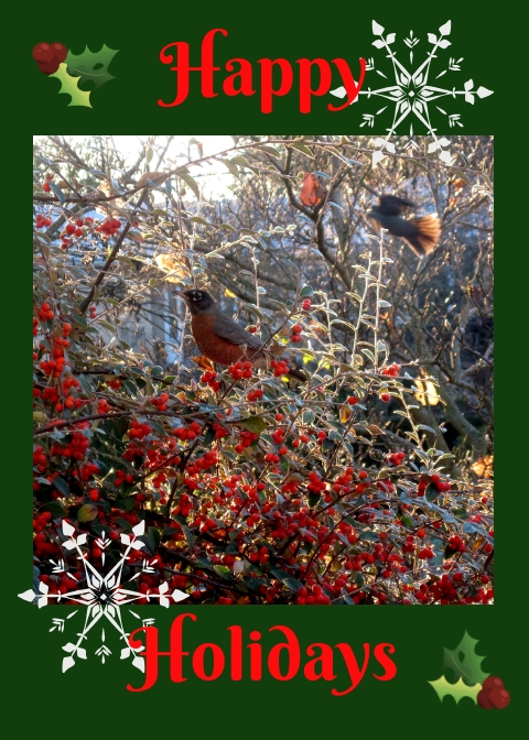 Happy Holidays greeting, robins at cotoneaster