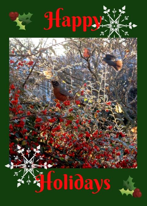 Happy Holidays greeting, robins at cotoneaster