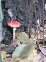 Amanita muscaria mushroom at foot of birch tree