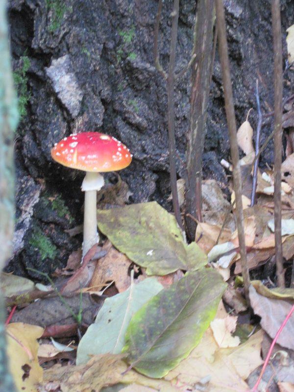 Amanita muscaria mushroom at foot of birch tree