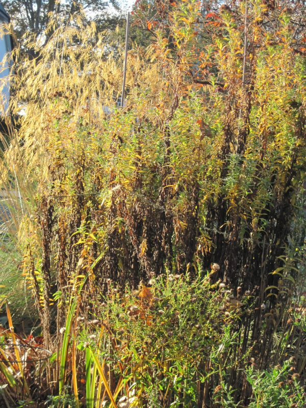 Stipa gigantea and fading aster foliage lit up by morning sun