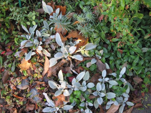 Lambs' ears and periwinkle foliage