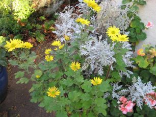 Chrysanthemums and Dusty Miller (Senecio cineraria)