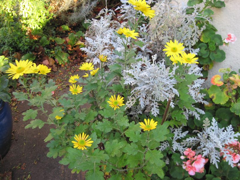 Chrysanthemums and Dusty Miller (Senecio cineraria)