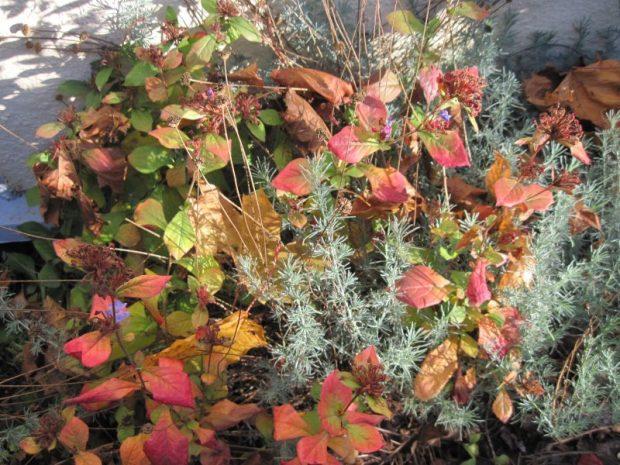 Plumbago (Ceratostigma plumbaginoides) and Santolina