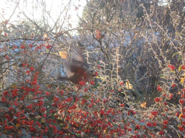 American robin and cotoneaster bush full of berries. Blurry bird image.