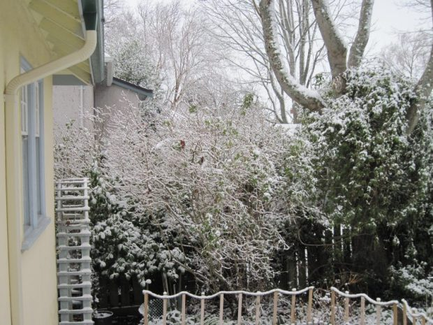 February 2019 snow in back garden, on lilac and white climbing rose