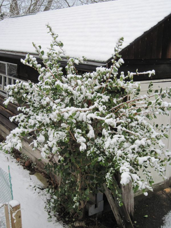 Winter honeysuckle with snow February 2019