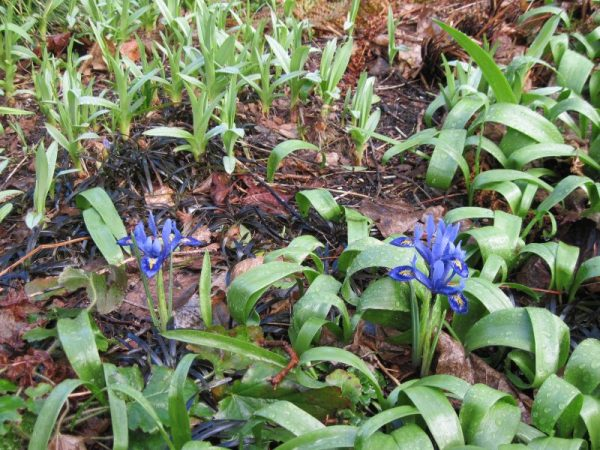 Iris reticulata, tulip foliage, dalylily foliage, sprouting, black mondo grass