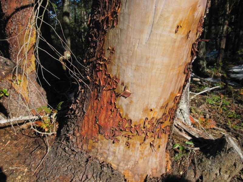 Arbutus trunk peeling bark, Salt Spring Island March 2019