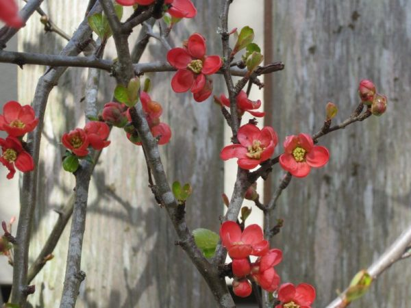 Japanese quince Chaenomeles japonica March 2019 against weathered cedar fence