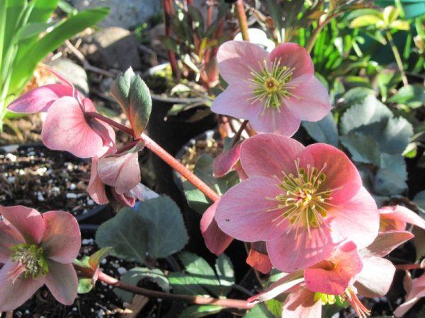 """Hellebore """"Pirouette"""" pink flowers"""