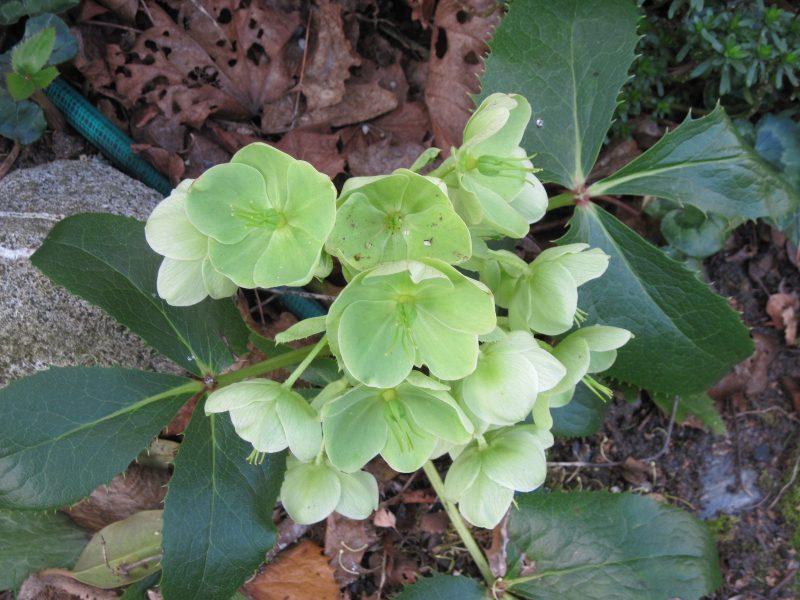 Corsican hellebore green flowers