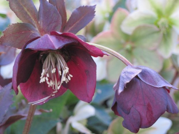 "Hellebore ""Ruby Wine"" flowers with ""Ivory Prince"" in the background"